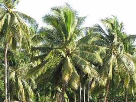 Dàn ý biểu cảm về cây dừa & biểu cảm cây chuối bài văn 2, lớp 7