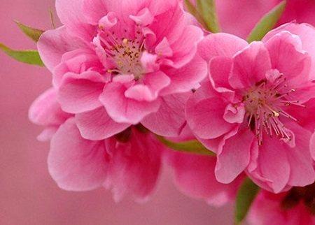 Dàn ý thuyết minh về hoa đào Tết lớp 8,9