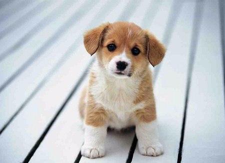 Dàn ý thuyết minh về con chó vật nuôi lớp 9