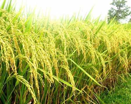 Lập dàn ý thuyết minh về cây lúa nước (Lớp 9)