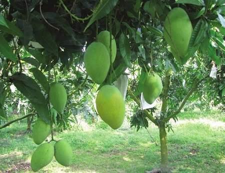 Tả cây xoài, tả cây mít bài văn cây ăn quả điểm cao