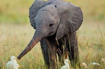 Bài văn tả con voi