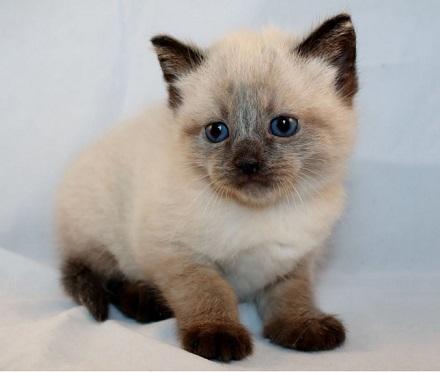 Dàn ý tả con mèo (con vật)