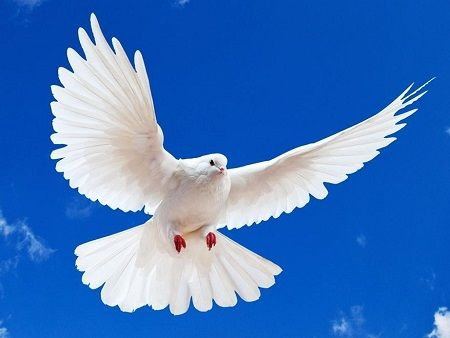 Tả chim bồ câu trắng lớp 2, 3,4, 5